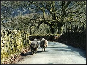 Following sheep